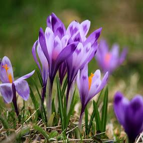 Crocuses by Claudiu Petrisor - Flowers Flowers in the Wild ( orange, wildflowers, grass, green, crocus, flowers )