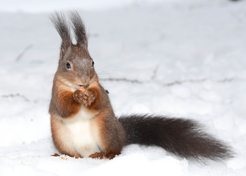 Hungry squirrel by Andrej Eling - Animals Other Mammals ( animals, winter, squirrel, animal )