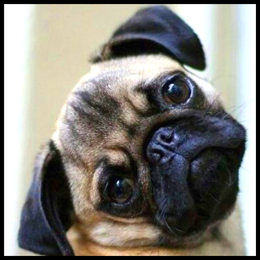 Pug Wallpaper file APK for Gaming PC/PS3/PS4 Smart TV
