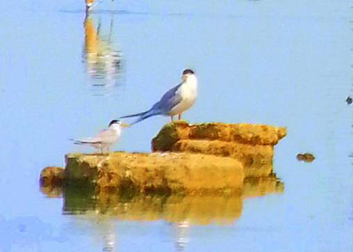 Photo: Least Tern (L) and Forster's Tern (R). Woodland WTP, Yolo County, Ca. July 17,  2015.