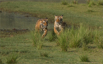 Photo: Two Very Wild Tiger Cubs on the Run in India  Just at the airport now in Toronto, we reach our hotel in 24 hours! Long trip!  Prints are available - ray@raymondbarlow.com  Thanks for looking, more new tiger images soon I hope!  Raymond!  #bengal #indianature  #royalbengal  #wildlife #nature  #ranthambore  #raymondbarlow #naturephotos  #bengaltiger #tigers #animal #animallovers #animalphotography  #nature #phototour  #raymond  #green #nature #naturephotography  #phototours  #wildlife  #travel #adventure  #whatshot  #wildlifephotographers #wildlife  #canadianphotographer