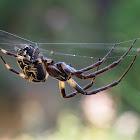 Araña (Bridge spider)