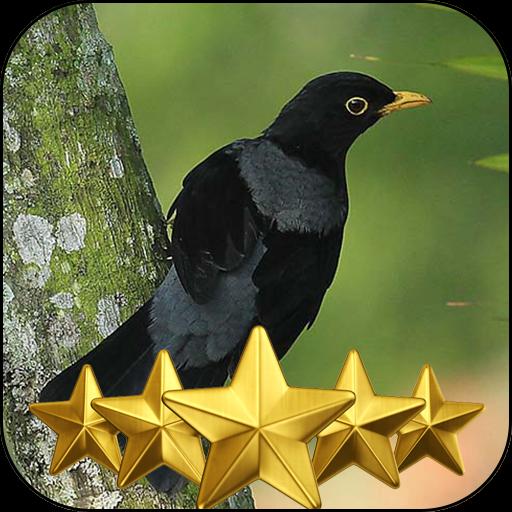Kicau Burung Sabia Una