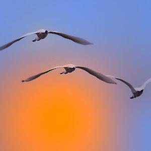 March 30 spoonbills in flight.jpg