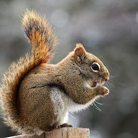 Red Squirrel on Wooden Fence II by Jeff Galbraith - Animals Other Mammals ( fence, wooden, red, furry, eating, cute, rodent, close-up, squirrel )