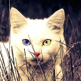 Blue & Yellow by Kaja Radošević - Animals - Cats Portraits