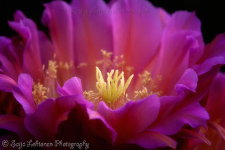Photo: Hoping everyone is having a beautiful Monday... :)  saija-lehtonen.artistwebsites.com   #cactusflower   #cactusblooms   #cactus   #pinkflower   #flowersphotography   #flowerscolor   #flowersphotos   #floralphotography   #floralphotos   #floraltoday   #nature   #southwest