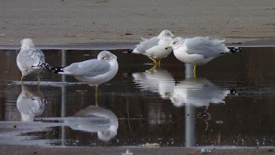 Photo: Ring-billed Gulls