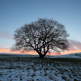 Winter Oak by Colin Wood - Novices Only Objects & Still Life ( sunrise, snow, tree )