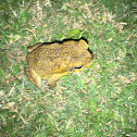 Cane toad (male)