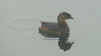 Photo: Pied-billed grebe - San Diego River at Mission Bay
