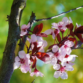 Spring Blossoms by Vijay Govender - Flowers Tree Blossoms ( trees, flowers, spring, floral )