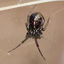 cobweb weaver spider
