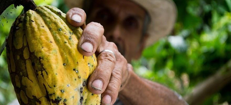 Mężczyzna trzymający owoc kakaowca kakao