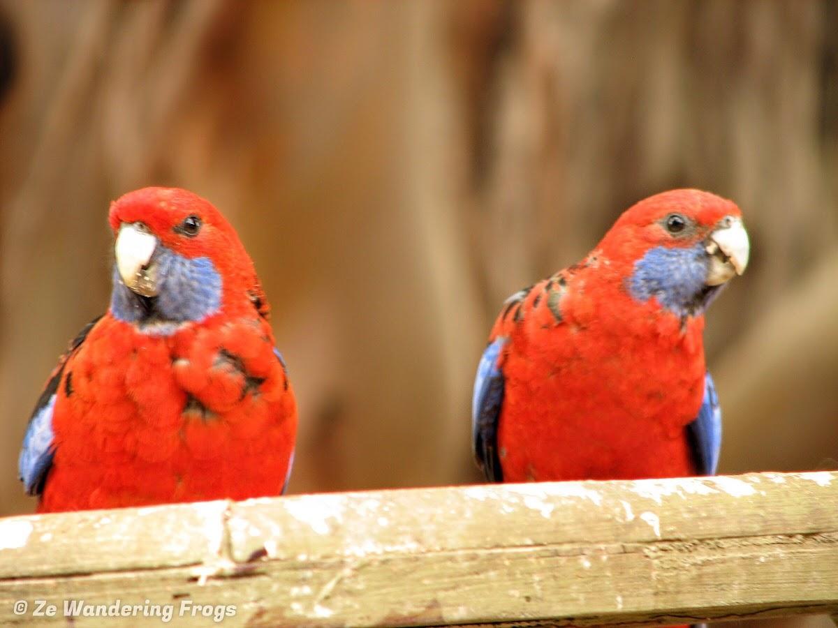 Parrots at the Hanson Bay Sanctuary