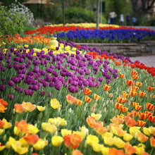Photo: A rainbow of tulips of every variety