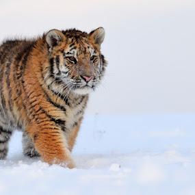 by Bencik Juraj - Animals Lions, Tigers & Big Cats ( beast, predator, winter, tiger,  )