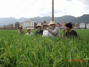 Photo: Zhu and Uphoff visiting SRI field of Nie Fu-qu in Bu Tou village, Tien Tai county, Zhejiang province. [Photo courtesy of Norman Uphoff]