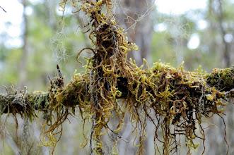 Photo: Twisty moss