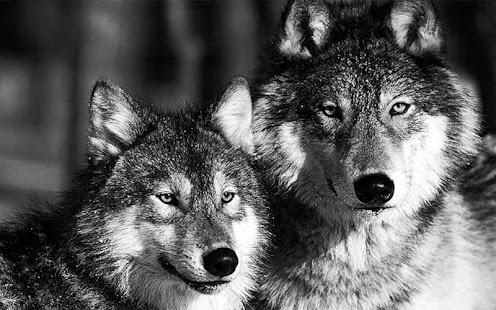 Wolf Black White livewallpaper - náhled