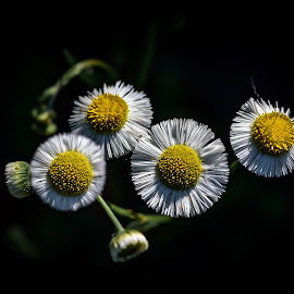 Wild Daisies by Ronnie Sue Ambrosino - Flowers Flowers in the Wild ( bouquet, wildflower, daisy, yellow, black, flower,  )