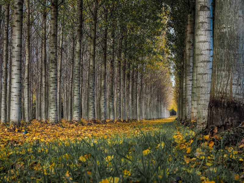 Pioppeto in autunno di simone_fagnani