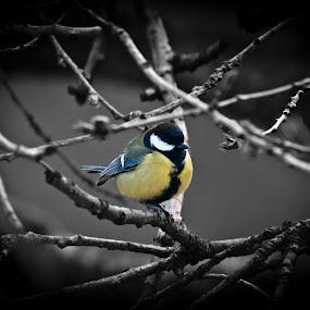 Selective Bird by Chris Boulton - Animals Birds ( colour, bird, twigs, selective, blue, white, tit, yellow, garden, black )