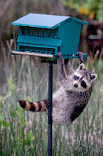 Photo: Rocky racoon trying to steal food out of our neighbour's bird feeder
