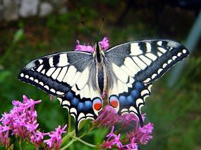 Photo: Repos ! A la tombée du jour, le Grand-porte-queue (Papilio machaon) se pose pour le repos de la nuit sur une centranthe rouge. Le papillon au repos garde les ailes fermées...j'ai un truc pour les lui faire ouvrir sans l'effaroucher ! ............