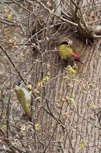 Photo: European Green Woodpecker (Grünspecht); Hamburg, DE