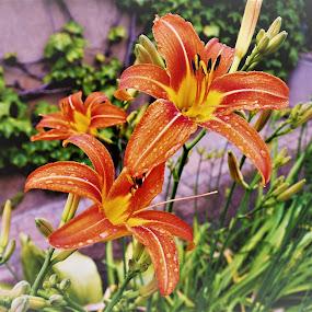 fiori rossi con gocce d'acqua by Francesco Benettolo - Flowers Flower Gardens ( fiori in giardino, fiori incantevoli, fiori bagnati, fiori rossi e gialli, fiori rossi )