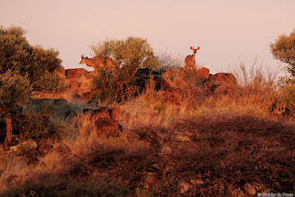 Photo: A red sun sets on a young Kudu bull and a Kudu cow at the Motswedi Camp Site in the Mokala National Park