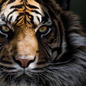 Eyes of the Tiger by Andy Smith - Uncategorized All Uncategorized ( big cat, tiger, endangered, mammal, eyes,  )
