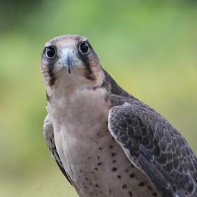Falcon by Richard Moyen - Animals Birds ( up close, nature, falcon, feathers, birds )