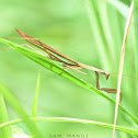 Chinese Mantis (male)