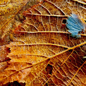 Frosty by Eirin Hansen - Nature Up Close Leaves & Grasses