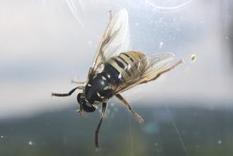 Photo: Temnostoma vespiforme     Diptera  > Syrphidae
