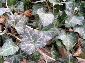Photo: Нedera helix Araliaceae , осінь