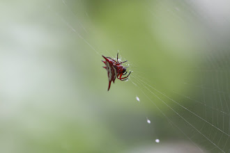 Photo: buffalo spider (Gasteracantha)