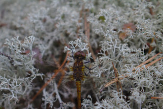 Photo: Dragonfly and lichen