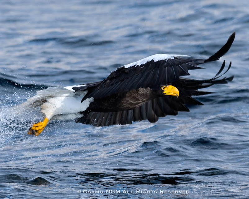 水面から飛び立つ大鷲