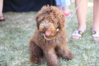 Photo: Pip the Labradoodle