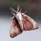 European Gypsy Moth