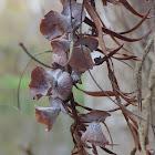 Cypress Flower Gall Midge