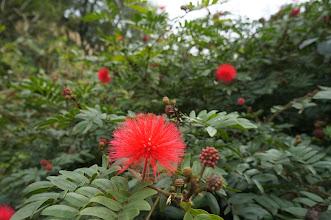 Photo: 今日第二點紅,粉撲花,從葉子辨認