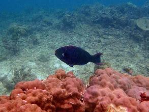 Photo: Scarus niger (Black Parrotfish), Miniloc Island Resort reef, Palawan, Philippines.