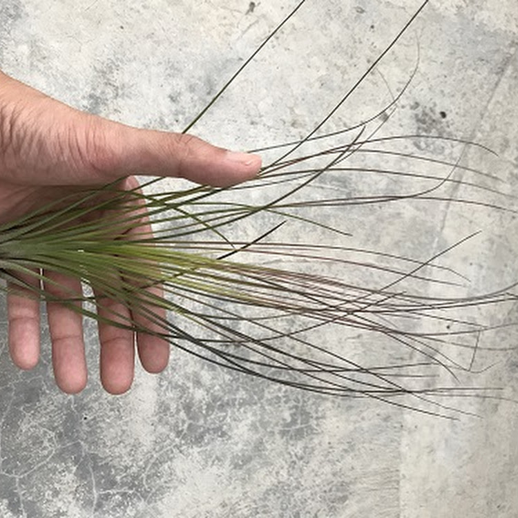 Air Plant - Juncifolia