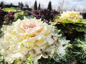 Photo: Creamy cabbage with a blushing center at Wegerzyn Gardens in Dayton, Ohio.