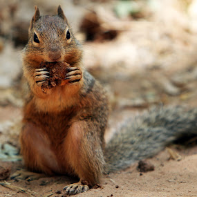 Squirrel's Delight by Liesl Ross Photos - Animals Other Mammals ( zion national park, furry, eating, nut, cuddly, cute, squirrel )