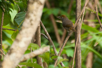 Photo: Rose-throated Tanager (Rosenkehltangare); Bacalar, QROO
